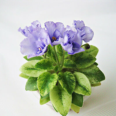 ☘️ H30 Robs Chilly Willy African Violet Leaf ☘️
