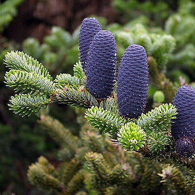 20 Pcs Korean Fir Tree Seeds Abies Koreana  Blue Cones Cool Tree Garden C3X3