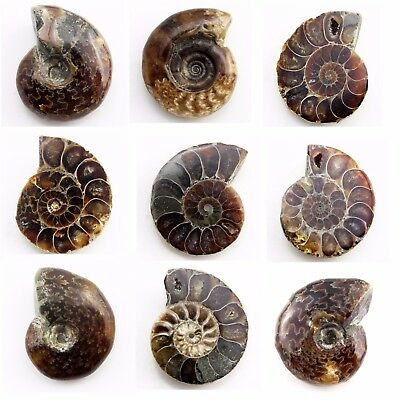 501.45 ct Natural Ammonite  Fossil   Lot ( Untreated ) / S6637