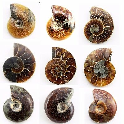 629.95 ct Natural Ammonite  Fossil   Lot ( Untreated ) / S6636