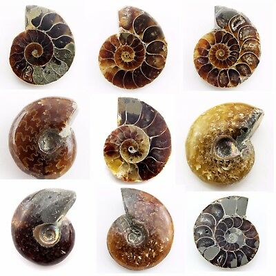 495.10 ct Natural Ammonite Fossil   Lot ( Untreated ) / S6639