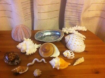 Fabulous Collection Of 13 Various Styled & Shaped Genuine Sea Shells Coral