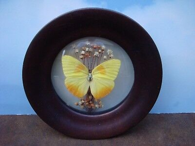 """6-1/2"""" Vintage Real Butterfly in Glass Wall hanging with Wood Frame"""