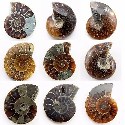 742.40 ct Natural Ammonite  Fossil   Lot ( Untreated ) / S6634