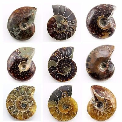 624.15 ct Natural Ammonite  Fossil   Lot ( Untreated ) / S6413