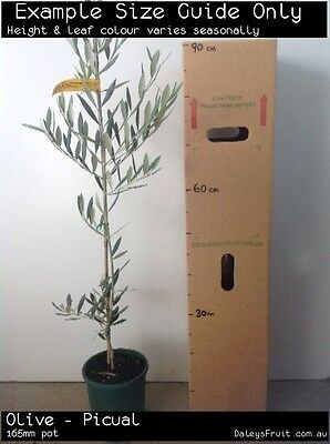Olive - Picual Fruit Tree Plant