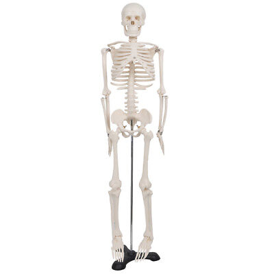 "Life Size Half Human Anatomical Anatomy Skeleton Medical Model 34"" Inch Stand"