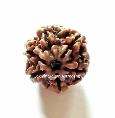 6 Six Mukhi Rudraksha Rudraksh Single Piece Nepal Origin A+ Quality Energized