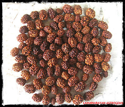 Wholesale Lot 50 Pcs 3 Three Mukhi Face Rudraksha Rudraksh Loose Beads