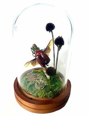 Real Preserved Crimson Beetle Glass Dome Display Cloche Victorian Taxidermy