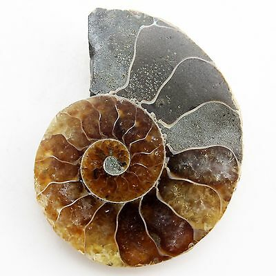 35.33 ct Natural Ammonite Fossil  ( Untreated ) / R5166