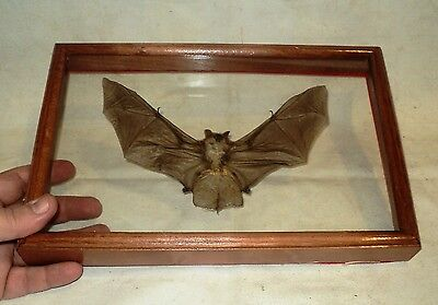 Taxidermy: Bat in a large frame double glazed 3D effect !
