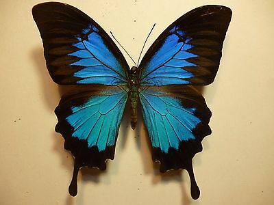 Real Dried Insect/Moth/Butterfly Non Set Large Blue Male Papilio ulysses A+ to A