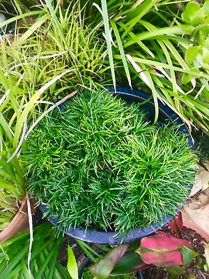 200 Mondo Grass Attractive Ground Cover Delivered To You Just $0.32c Ea Inc Post