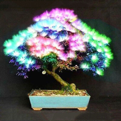 20 pcs/bag Acacia tree seeds bonsai flower seed Perennial indoor plants for home