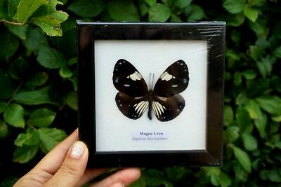 Real Framed Butterfly Display insect Taxidermy in Frame Collectible Gift Plain