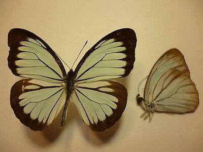 Real Dried Insect/Moth/Butterfly Non Set Pareronia paravator 6 cm