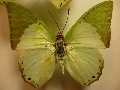 Real Dried Insect/Moth/Butterfly Non Set Bright Green Charaxes eupale/dilutus