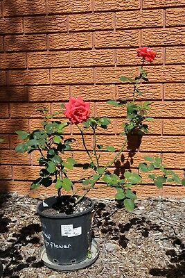 Well Established Rose Bush Plant Orange-Pink-Red Flowers Garden - 20cm Pot #1