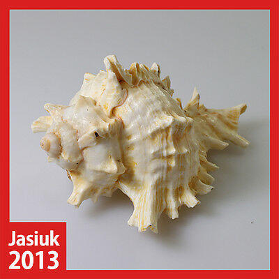White Yellow Natural Shell Seashell Conch RAMOSE MUREX CHICOREUS-RAMOSUS 10cm