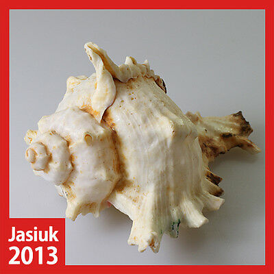 White Yellow Natural Shell Seashell Conch RAMOSE MUREX CHICOREUS-RAMOSUS 10.5cm