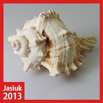 White Yellow Natural Shell Seashell Conch RAMOSE MUREX CHICOREUS-RAMOSUS 11.5cm