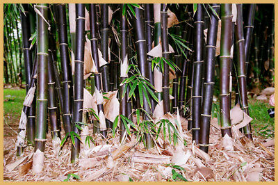 Timor Black clumping bamboo 200mm pots. Fast growing. Ornamental.