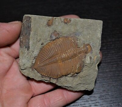 Fossile Trilobite Coronocephalus jastrowi / 141g Chine / fossil China Silurien