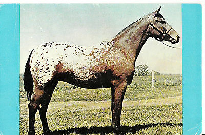Appaloosa Spotted Pony Of The Americas Poa Horse Postcard