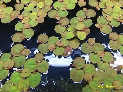 Aquatic Floating Plant Red root floater Phyllanthus Fluitans