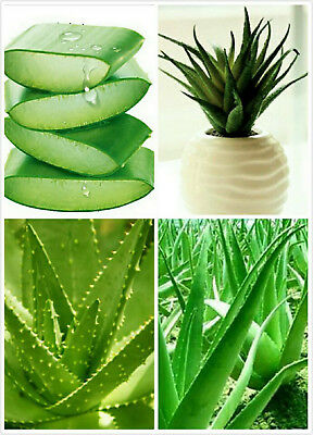 100 seeds. Big Leaf Aloe Vera Seeds  For Herb (or Ornamental Potted Plants)