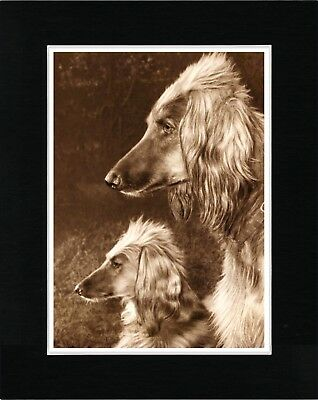 Afghan Hound Two Dogs Head Study Lovely Vintage Style Dog Print Ready Matted