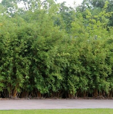 5 x Green Hedge Bamboo  Clumping bamboo. Cold, drought tolerant