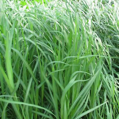Herb lemon grass cymbopogon flexuosus 800 seeds for Fast growing ornamental grass