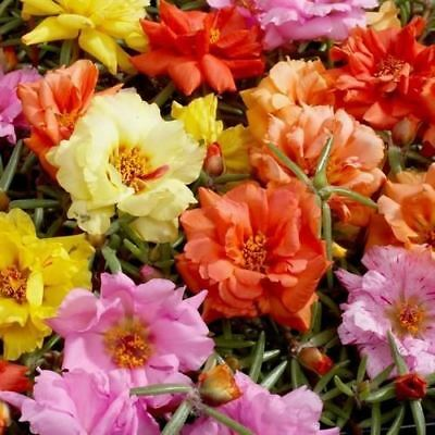Portulaca Moss Rose Mix Ground Cover Seeds (Portulaca Grandiflora) 200+Seeds