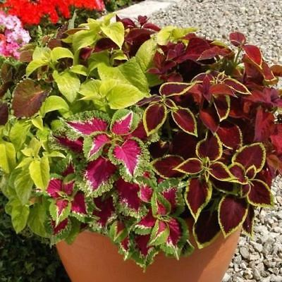Coleus Wizard Mix Flower Seeds (Solenostemon scutellarioides) 15+Seeds