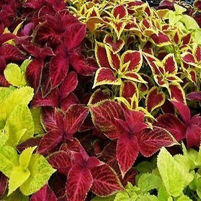 Coleus Rainbow Mix Flower Seeds (Solenostemon scutellarioides) 100+Seeds