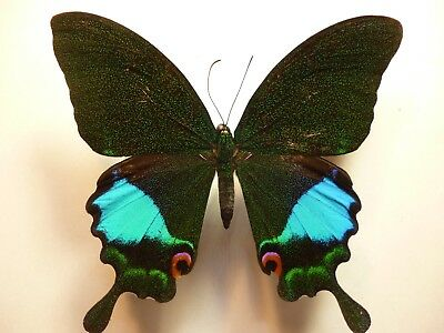 Real Dried Insect/Butterfly/Moth Non-Set. Large Papilio karna Male (Blue Patch)