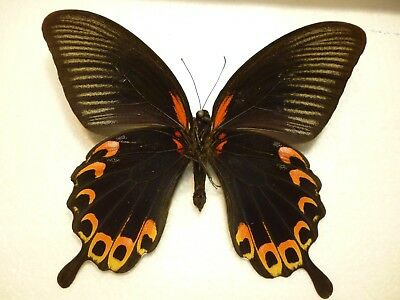 Real Dried Insect/Butterfly/Moth Non-Set. V/Large Papilio deiphobus