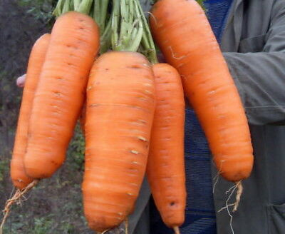 "Ukrainian Organic Vegetable seeds Carrot ""Red Giant"" Krasnyy Velikan. 1500 Seeds"