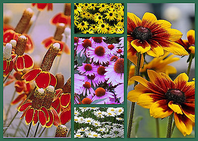 Daisy Seeds, Daisy Lovers Delight 5 Pack Special, Perennial Flower Seeds Non-Gmo