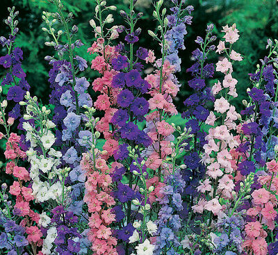 Larkspur Seed, Giant Imperial Mix, Bulk Seed, Heirloom Flower Seed, Annual 400ct