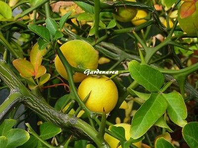 10+ Graines Poncirus trifoliata Winter Hardy Orange tree seeds