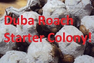 125+Dubia Roaches Starter Colony.Adults & Nymphs.Feeders.Free Isopods & Beetles.