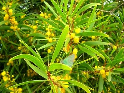 105 Graines Acacia confusa Small Philippine Acacia tree Seeds