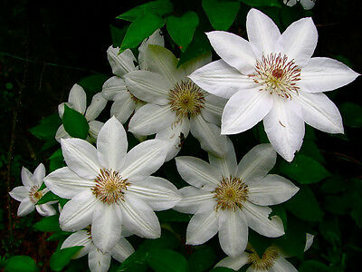 Clematis henryi large white flowers june to september 1 litre pot clematis henryi large white flowers june to september 1 litre pot mightylinksfo