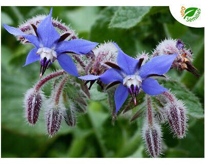Pimiento Picante Cereza ( 80 semillas ) seeds guindilla Red Cherry