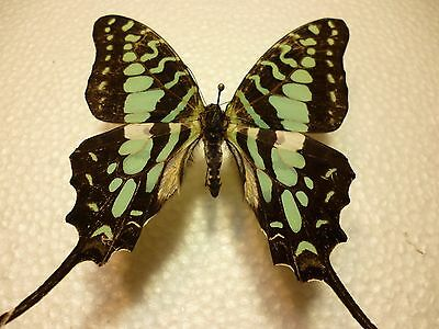 Real Dried Insect/Butterfly/Moth Non-Set.Large Blue/Green Graphium antheus