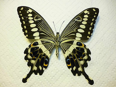 Real Butterfly/Moth Dried Insect Non Set. Lge. Colorful form Papilio lormieri