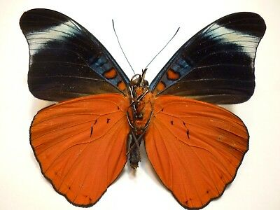 """Real Butterflies/Moths/Insects Non Set B 3116   Panacea prola """"Stunning"""""""